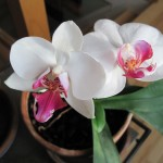 orchidsMay2014sm
